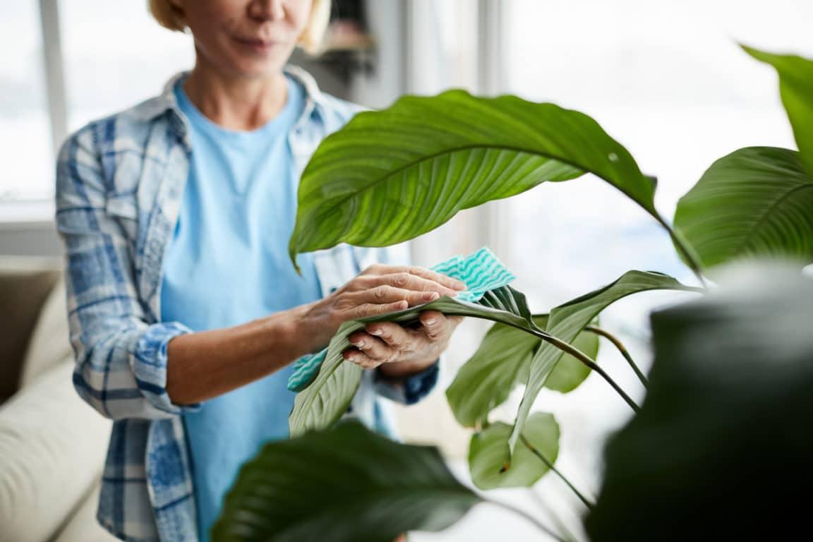 Quelques méthodes simples pour nettoyer vos plantes vertes